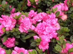 Pink Azalea Shrub