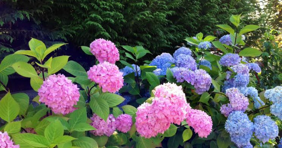 Blooming Hydrangea Bushes