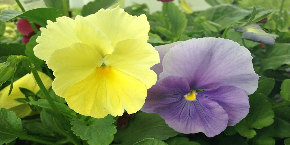 colorful-pansies