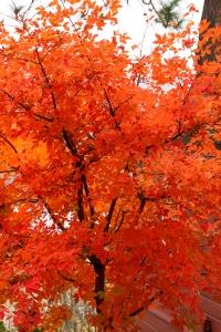 Paperbark Maple in Autumn