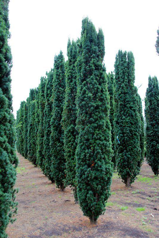 Irish Yew
