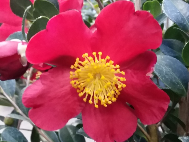Picture of Yuletide Camellia